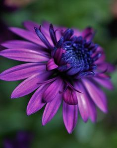 Double African Daisy elegance.. by Renee Norton