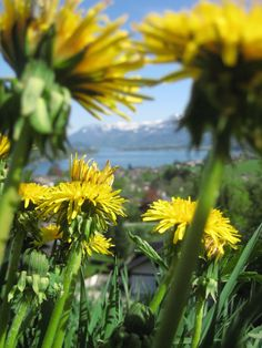 Dandelions in Austria