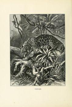 Jaguar, Our Living World: An artistic edition of the Rev. J. G. Wood's Natural History of Animate Creation, Joseph Bassett Holder, Vol I, 1885.