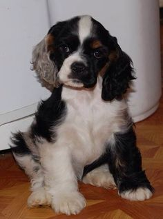 Parti- color, Cocker Spaniel Puppy -- love this coloring! American Cocker Spaniel, Cocker Spaniel Puppies, English Cocker Spaniel, Cute Puppies, Dogs And Puppies, Cute Dogs, Doggies, Beautiful Dogs, Animals Beautiful
