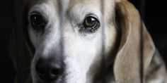texte de la pétition: Stop the Beagle puppy animal testing breeding facility!, United Kingdom