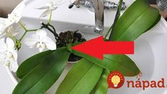 Kúzelná voda na orchideu: Toto musí prebudiť aj tú najbiednejšiu rastlinku a máte to zadarmo – už ani euro za hnojivá z obchodu! Good To Know, Indoor Plants, Plant Leaves, Flowers, Euro, Gardening, Balcony, Inside Plants, Lawn And Garden