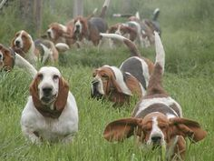 Lots of Basset hounds Hound Puppies, Dogs And Puppies, Doggies, Beagle Puppies, Cocker Spaniel, Weimaraner, Bloodhound, Chien Basset Hound, I Love Dogs