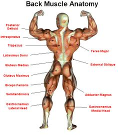Muscle anatomy - A part from the human body is composed of flesh and bone, composed also by muscle. Human muscle anatomy is composed of thousands of muscle Ace Fitness, Planet Fitness Workout, Muscle Fitness, Female Back Muscles, Deadlift Muscles Worked, Muscle Names, Muscle Structure, Latissimus Dorsi, Weights For Beginners