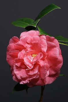 Camellia double blooming.  These beauties my mother grew all through my childhood.
