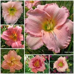 Pretty in Pink Collection from Oakes Daylillies