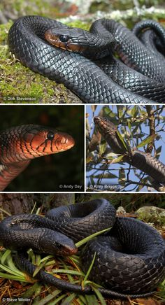 Ritual snake used to enlarging anus