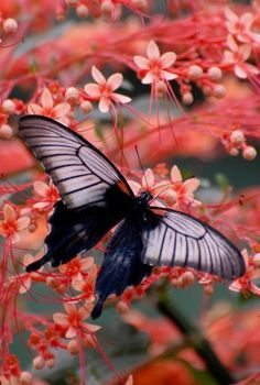 A black and white butterfly on gorgeous salmon pink flowers....a stunning photo.