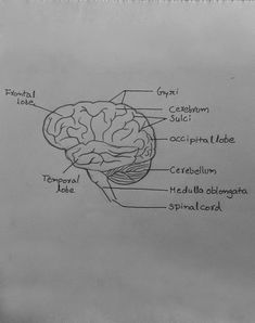 Step By Step Tutorials On Drawing Biology Diagrams Brains In 2019