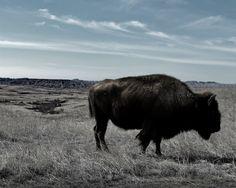 Bison in Badlands National Park. Flickr/Joseph Voves