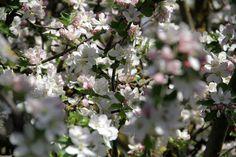 Inperfectus-nature-manzano-en-flor