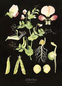 Herneet-Peas by Ebba Masalin Botanical Illustration, Botanical Prints, Botanical Gardens, Science And Nature, Illustrations, Botany, Vintage Prints, Art Inspo, Comic Art