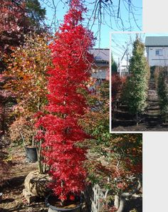 small thin columnar trees for hedging Columnar Trees, Deciduous Trees, Trees And Shrubs, Trees To Plant, Japanese Tree, Japanese Maple, Landscaping Plants, Front Yard Landscaping, Tall Skinny Trees