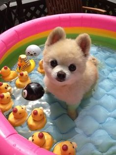 Pomeranian puppy swimming with duckies. Um, oh, and an eight ball...