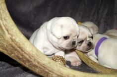 Cute White Pug Puppies