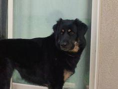 Tibetan Mastiff Rescue, Inc. - HANNAH -AVAILABLE - Click on Pic