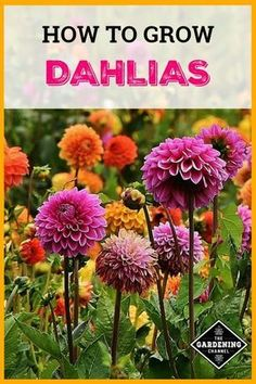 Dahlias make great cut flowers from the garden. Learn how to plant and care for dahlias with these flower gardening tips. #gardeningchannel #flowergardening #growingdahlias