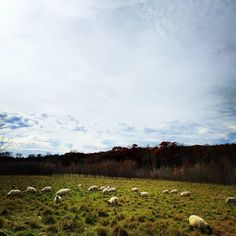 Sheep. #dailysky