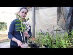 Como cuidar do seu Dendrobium - YouTube