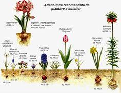 Flori perene cu bulbi | BRICOLAJ - GRADINA - SFATURI si IDEI