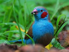Red-cheeked Cordon Bleu ( (Uraeginthus bengalus) from Hawaii