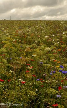 Wildflowers at Sea Mills, Cornwall