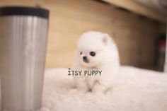 SOLD**Audrey - Micro Pom Female - ITSY PUPPY: Teacup puppies for sale in CA | Micro and Teacup Maltese Pomeranian Yorkie Poodle Puppies from...