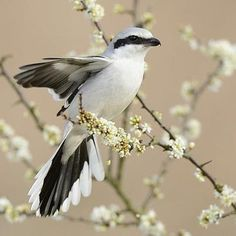 Great Grey Shrike (Lanius excubitor) Northern Europe and Asia