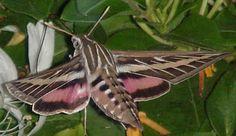 hummingbird moth - Google Search