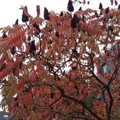 Photo prise hier après-midi. J'aime cet arbre pour ses couleurs rouges d'automne différentes à chacun de mes passages : ah le bel automne !  #bpco #emphyseme Sortie 35min avec #monmeilleurami pas de brouillard ce matin