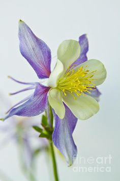 Colorado's state flower, the white and lavender columbine (Aquilegia caerulea) is commonly known as the Rocky Mountain columbine. Fine art photography prints, decorative canvas prints, acrylic prints, metal Prints wall art  for sale on FineArtAmerica.com. Prints starting at $25. Copyright: James Bo Insogna