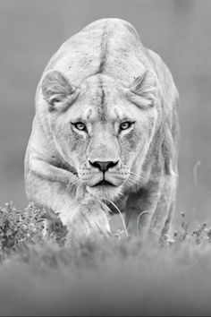From the back, I would love to have the lionesses face watching. Its the fierceness in her face watching/hunting that I am hoping for you to capture.