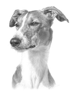 Greyhound by Nolon Stacey of Masham (pencil drawing) Animal Sketches, Animal Drawings, Dog Sketches, Dog Drawings, Pencil Drawings, Graphite Art, Graphite Drawings, Greyhound Art, Italian Greyhound