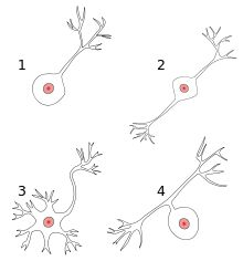 There are four different kinds of #neurons: (1) unipolar, (2) bipolar, (3) multipolar, and (4) pseudounipolar.