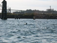 Kayaking Yaquina Bay Newport Oregon  See the Seal