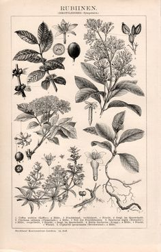 1898 Antique Botanical Print Rubiaceae Coffee Plant by Craftissimo