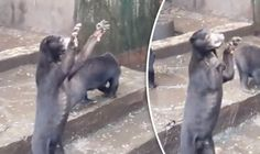 HARROWING footage of skeletal sun bears begging for food at an Indonesian zoo has sparked demands for its closure. This is just so painful to watch, those poor sentient beings! FREE WILD ANIMALS FROM ALL CAGES!!