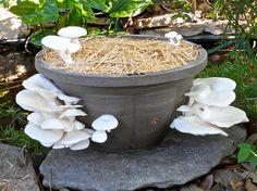 !00th Monkey Mushroom Farms garden kit grown on straw in a hanging planter