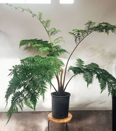 Plant Crush: Meet The Tree Fern