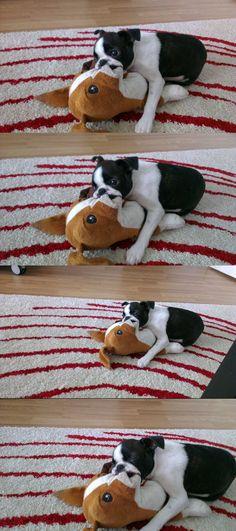 A Boston Terrier Getting Sleepy! http://www.bterrier.com/bruce-lee-the-boston-terrier-is-getting-sleepy/