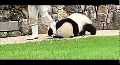 Panda hugs keeper's leg and he doesn't want to go (oso panda no se quiere ir)