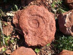 Ammonite from Hungary