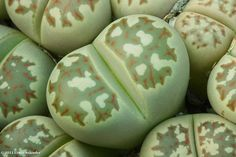 Lithops dorotheae | Flickr - Photo Sharing!