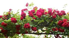 Soulieanaros, Rosa soulieana,  'Chevy Chase' Chevy Chase, Planters, Farming Life, Gardening, Image, Dreams, Flowers, Garten, Planter Boxes
