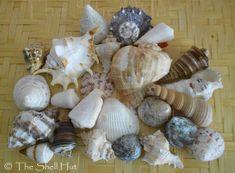 Seashell Craft Lot Assorted Mixed Shells Fish Tank Aquarium Beach Large Lot#1