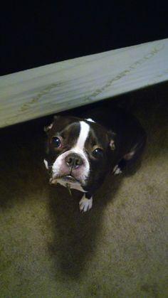 My Boston Terrier OREO