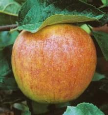 """Cox's Orange Pippin. """"The classic English Apple. This yellow antique apple with an orange-red blush is superb fresh and for pies, sauce or cider. Its complex flavor hints of orange and mango. Upright trees have a spreading growth habit. Ripens mid-to-late September. Best pollinators: any Golden Delicious or Stark® BraeStar™."""""""