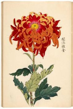 Keika Hyakukiku [Illustrations of Chrysanthemums]. A reissue of the Kyoto 1893 edition. The chrysanthenum is probably the most popular Japanese flower and of great symbolic importance. A yearly festival of 'happiness' is held in Japan to celebrate this magnificent flower. The present work is one of the most attractive Japanese flower books, printed in lovely delicate colours, and of a high artistic level. The 1904 and 1893 editions are identical.