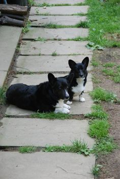 Corgis! They are black... Now I know what I want!