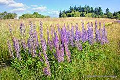 Willamette Valley landscape in Stafford, Oregon.